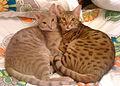 120px-Lavender_Chocolate_Ocicats