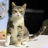 200px-American_Wirehair_-_CFF_cat_show_Heinola_2008-05-04_IMG_8721