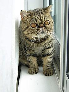 220px-Brown_Exotic_Shorthair_Kitten