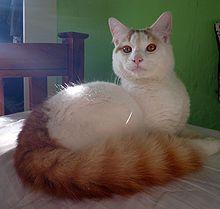 220px-Morris,_a_cat_of_the_Turkish_Van
