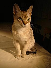 220px-Raffles_singapura_cat