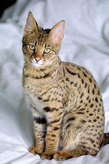 220px-Savannah_Cat_portrait