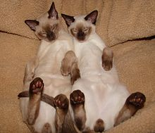 220px-Tonkinese_cats_asleep