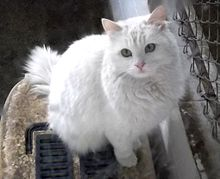 220px-Turkish_Angora_in_Ankara_Zoo_(AOÇ)
