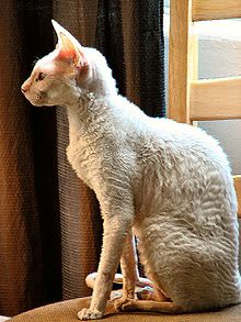 220px-White_Cornish_Rex