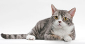 American-Wirehair-1