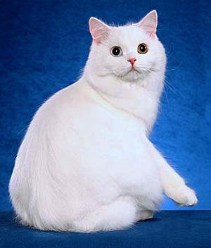 Cymric-cat-2