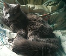 Nebelung_Cat_at_10