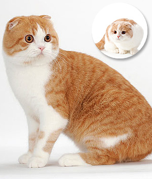Scottish-Fold-2