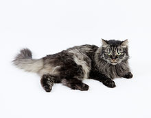 Siberian_Forest_Cat