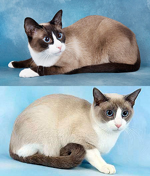 Snowshoe-cat-2