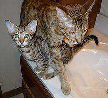 Tawny_ocicat_kitten_with_cinnamon_ocicat_mother