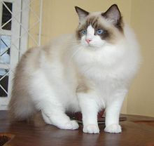 220px-Ragdoll_from_Gatil_Ragbelas