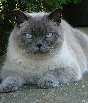 British-Shorthair-2
