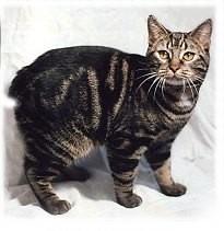 Manxcat