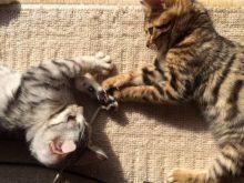 良い猫ブリーダーの見つけ方